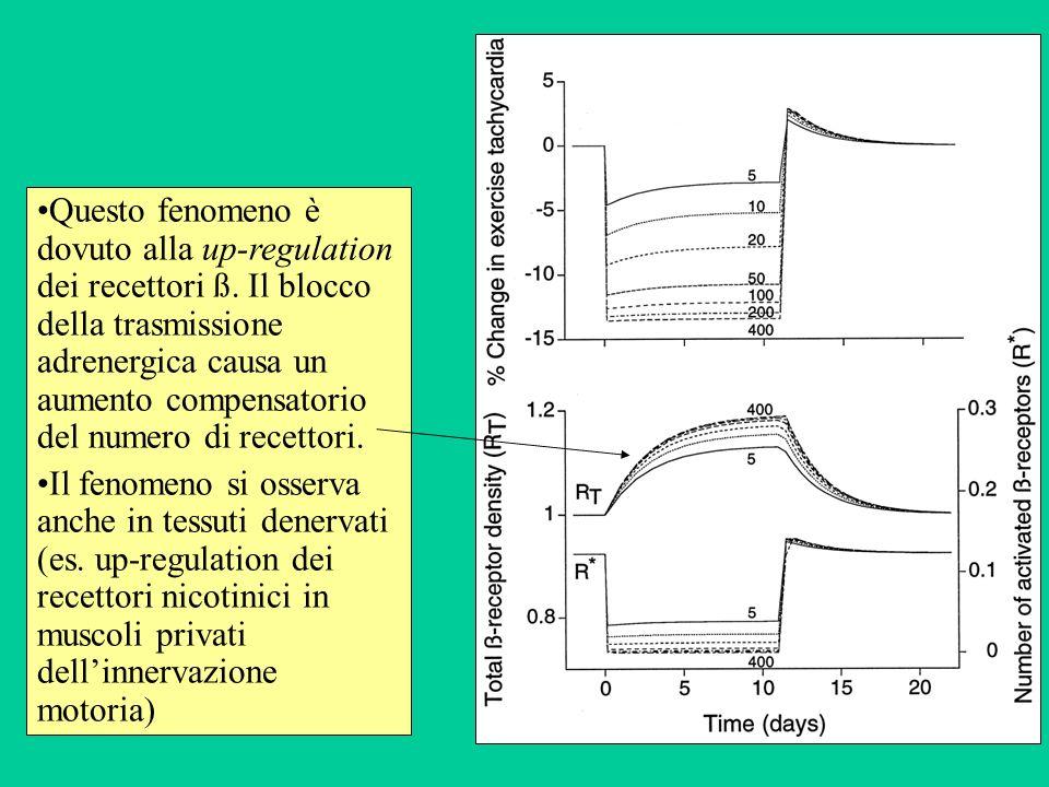 Questo fenomeno è dovuto alla up-regulation dei recettori ß