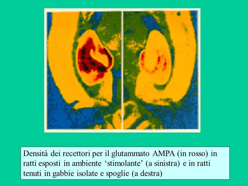 Densità dei recettori per il glutammato AMPA (in rosso) in ratti esposti in ambiente 'stimolante' (a sinistra) e in ratti tenuti in gabbie isolate e spoglie (a destra)