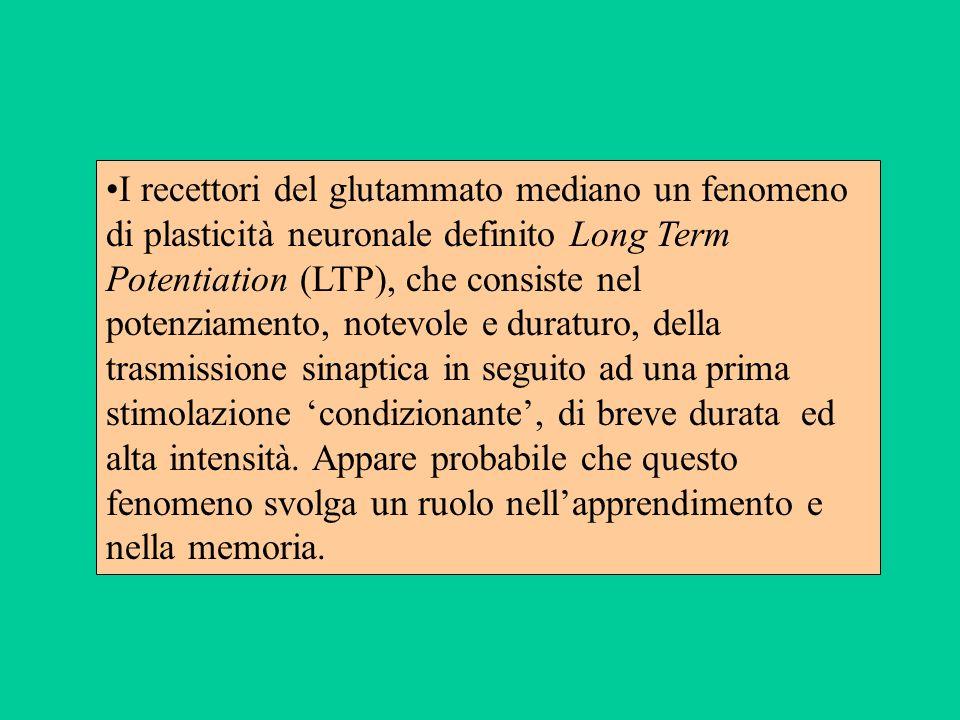 I recettori del glutammato mediano un fenomeno di plasticità neuronale definito Long Term Potentiation (LTP), che consiste nel potenziamento, notevole e duraturo, della trasmissione sinaptica in seguito ad una prima stimolazione 'condizionante', di breve durata ed alta intensità.