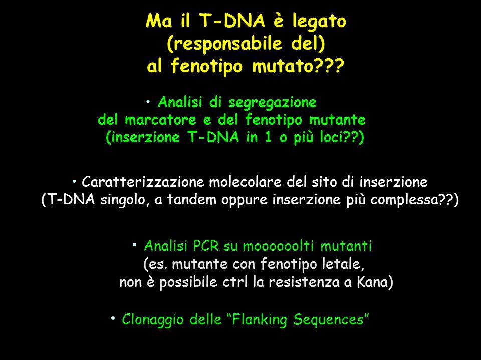 Ma il T-DNA è legato (responsabile del) al fenotipo mutato