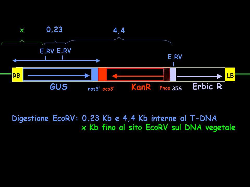 GUS KanR Erbic R Digestione EcoRV: 0.23 Kb e 4,4 Kb interne al T-DNA