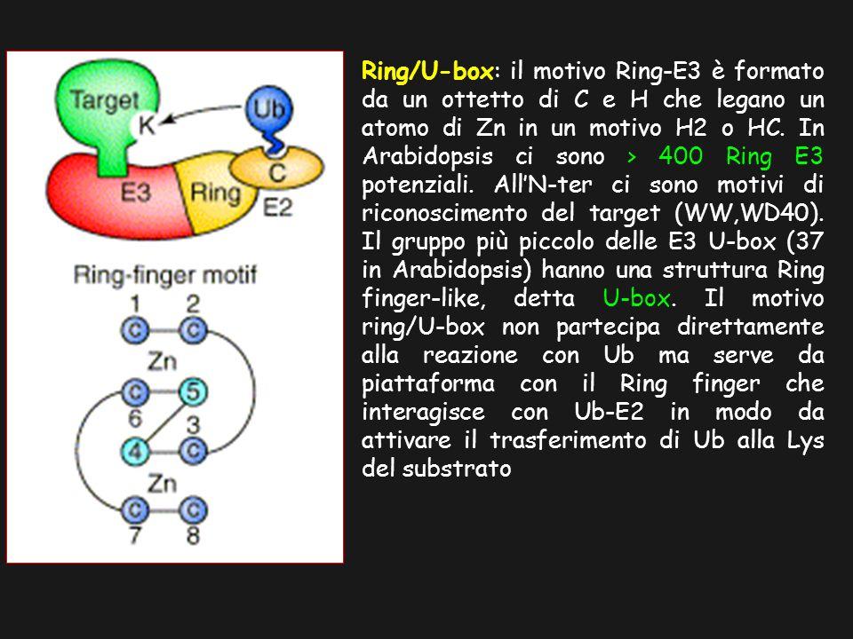 Ring/U-box: il motivo Ring-E3 è formato da un ottetto di C e H che legano un atomo di Zn in un motivo H2 o HC.
