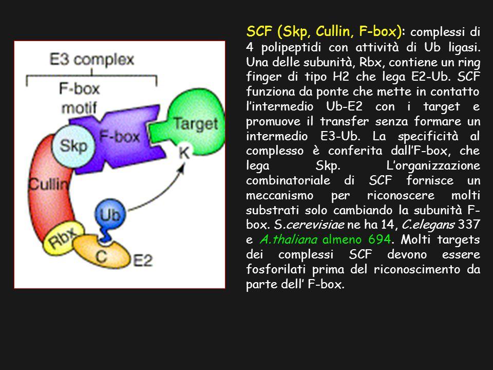 SCF (Skp, Cullin, F-box): complessi di 4 polipeptidi con attività di Ub ligasi.