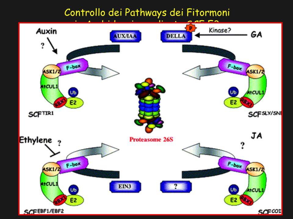 Controllo dei Pathways dei Fitormoni in Arabidopsis mediante SCF E3