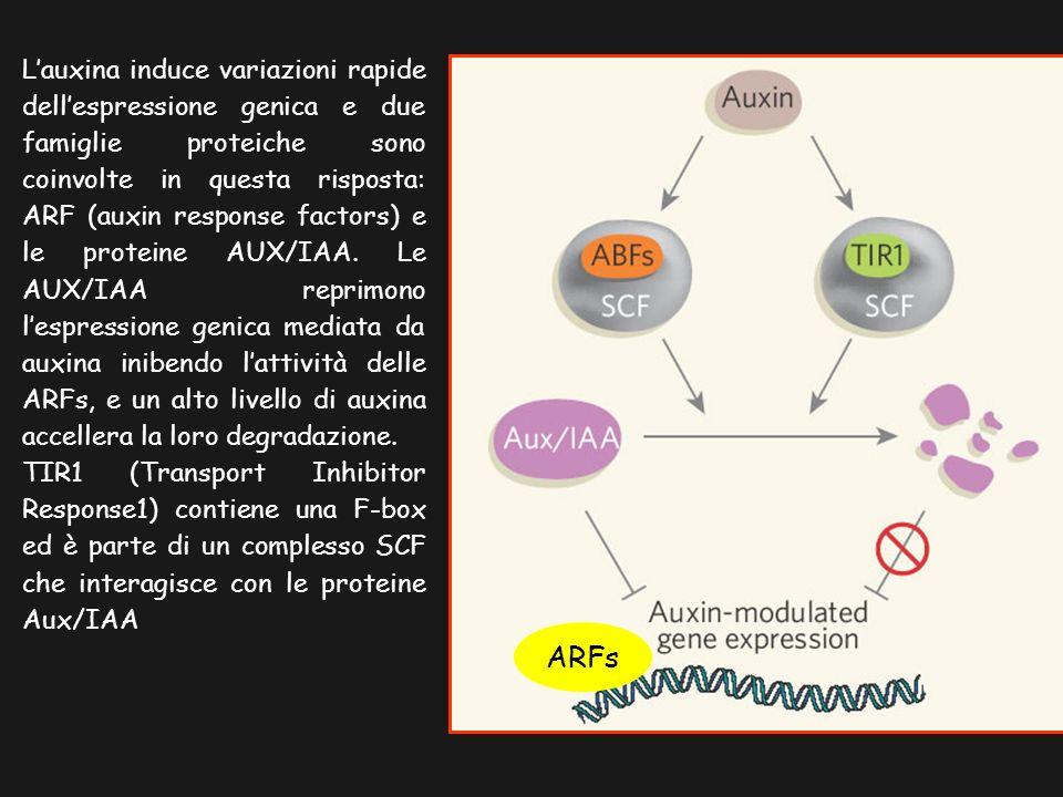 L'auxina induce variazioni rapide dell'espressione genica e due famiglie proteiche sono coinvolte in questa risposta: ARF (auxin response factors) e le proteine AUX/IAA. Le AUX/IAA reprimono l'espressione genica mediata da auxina inibendo l'attività delle ARFs, e un alto livello di auxina accellera la loro degradazione.