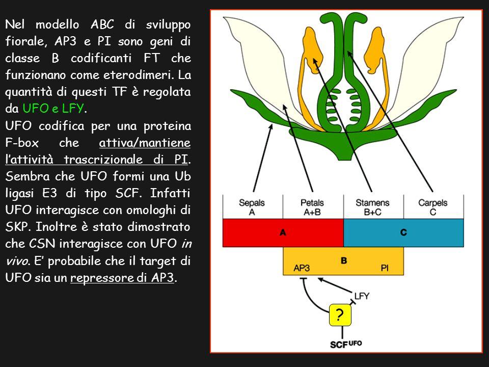 Nel modello ABC di sviluppo fiorale, AP3 e PI sono geni di classe B codificanti FT che funzionano come eterodimeri. La quantità di questi TF è regolata da UFO e LFY.