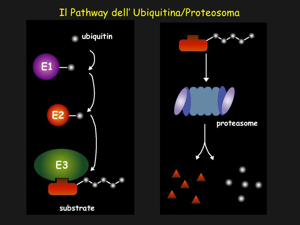 Il Pathway dell' Ubiquitina/Proteosoma