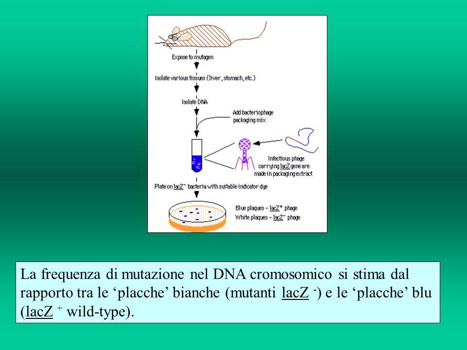 La frequenza di mutazione nel DNA cromosomico si stima dal rapporto tra le 'placche' bianche (mutanti lacZ -) e le 'placche' blu (lacZ + wild-type).