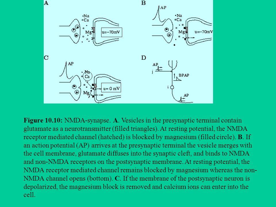 Figure 10. 10: NMDA-synapse. A