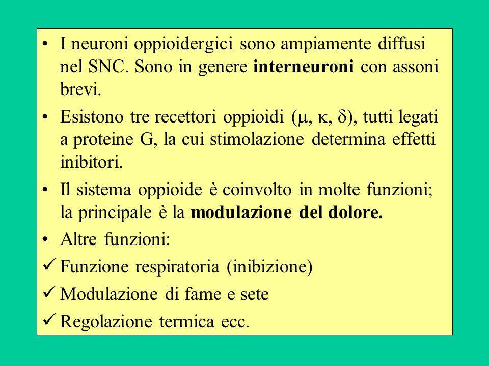 I neuroni oppioidergici sono ampiamente diffusi nel SNC