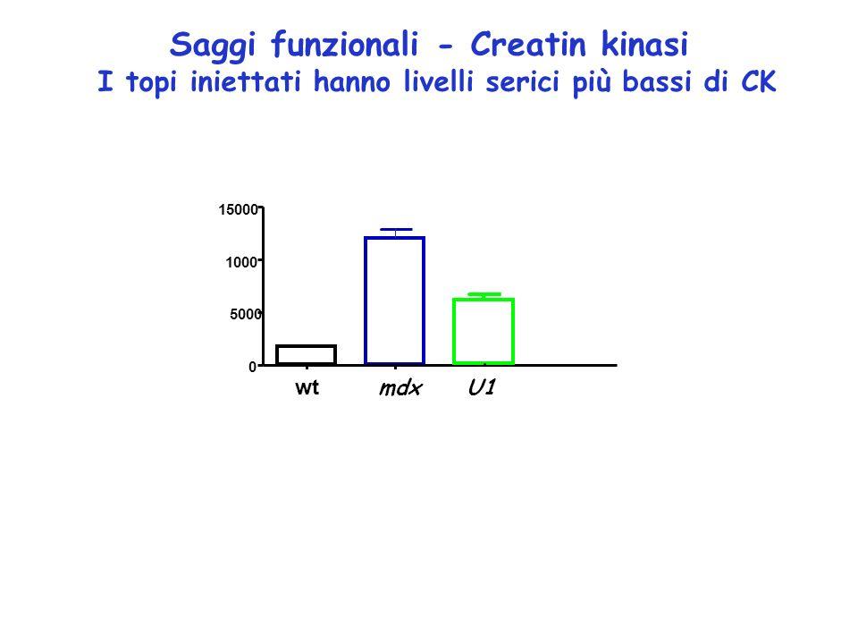 Saggi funzionali - Creatin kinasi
