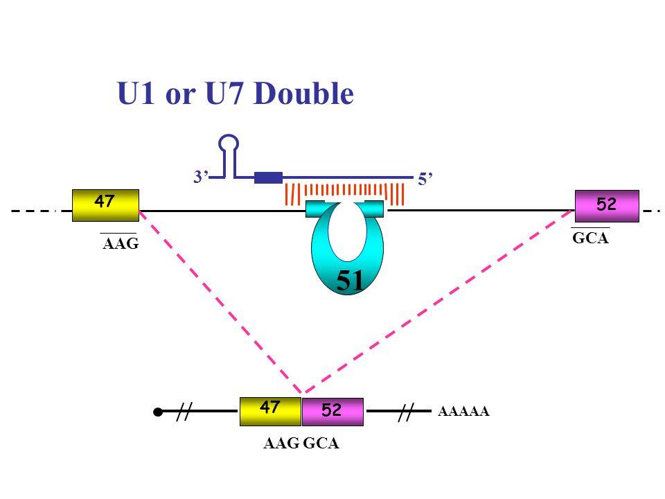 U1 or U7 Double 3' 5' AAG GCA 51 47 52 AAG GCA 47 52 AAAAA