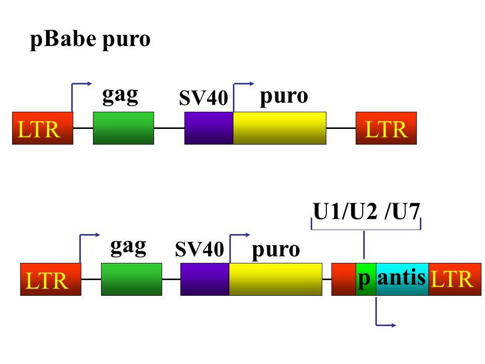 pBabe puro gag puro LTR LTR U1/U2 /U7 gag puro p antis LTR LTR SV40