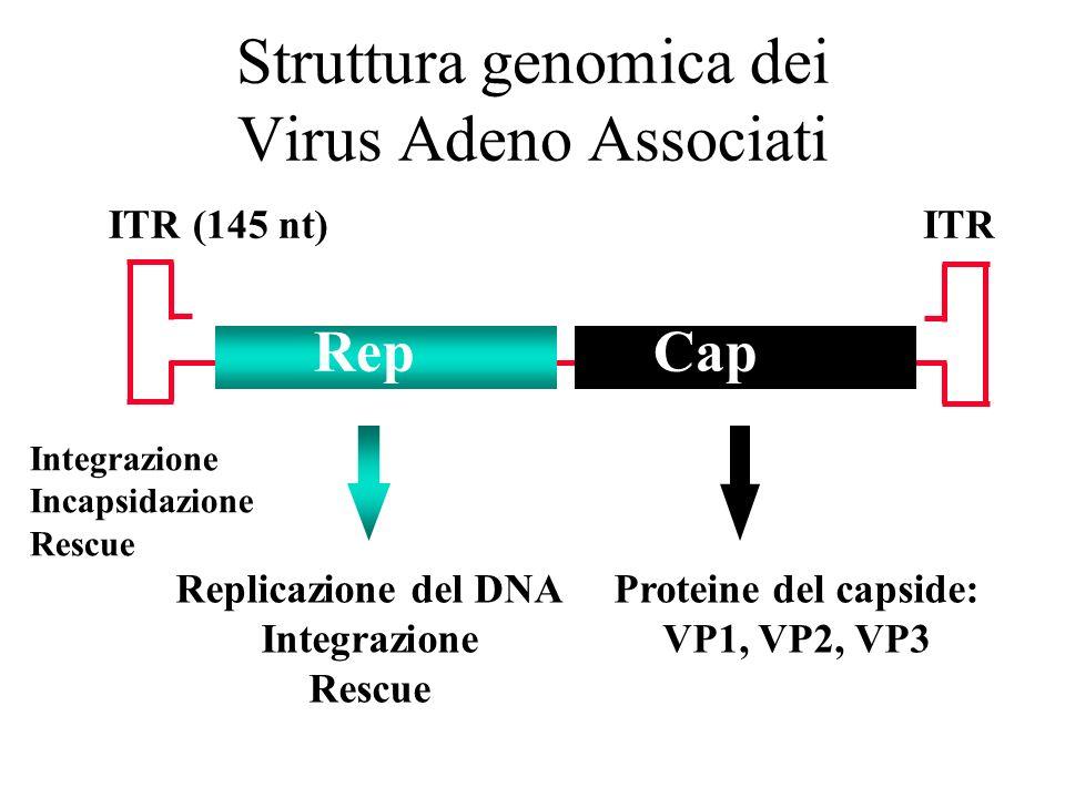 Struttura genomica dei Virus Adeno Associati
