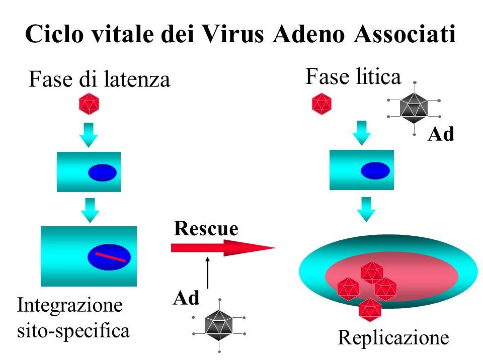Ciclo vitale dei Virus Adeno Associati