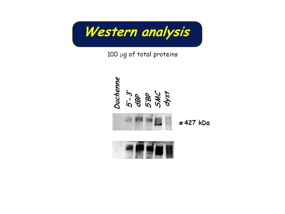 Western analysis -427 kDa - Duchenne 5'-3' 5'BP SMC dyst dBP
