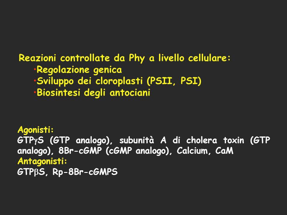 Reazioni controllate da Phy a livello cellulare: Regolazione genica