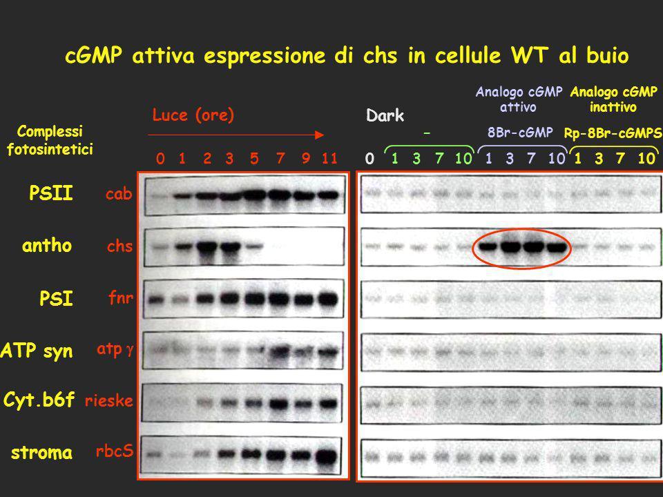 cGMP attiva espressione di chs in cellule WT al buio