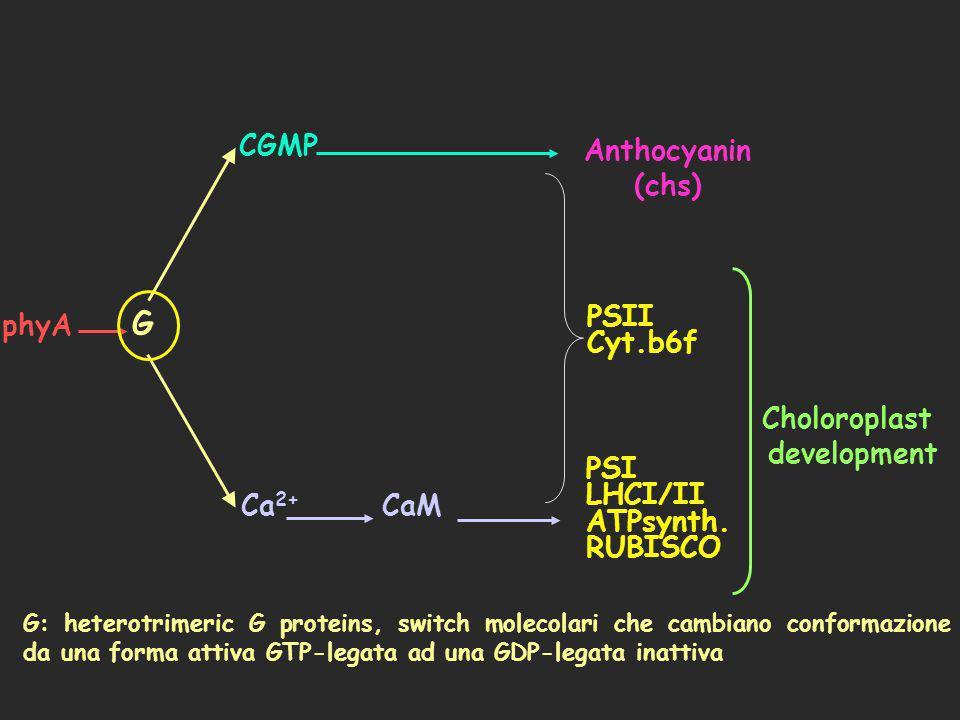 G CGMP Anthocyanin (chs) phyA PSII Cyt.b6f Choloroplast development
