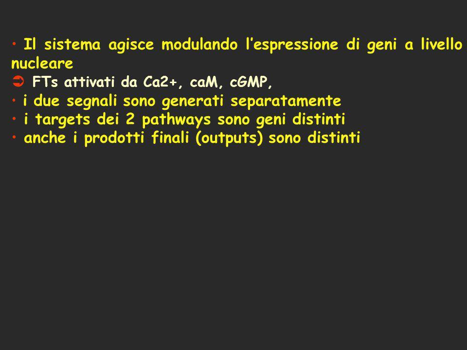 Il sistema agisce modulando l'espressione di geni a livello nucleare
