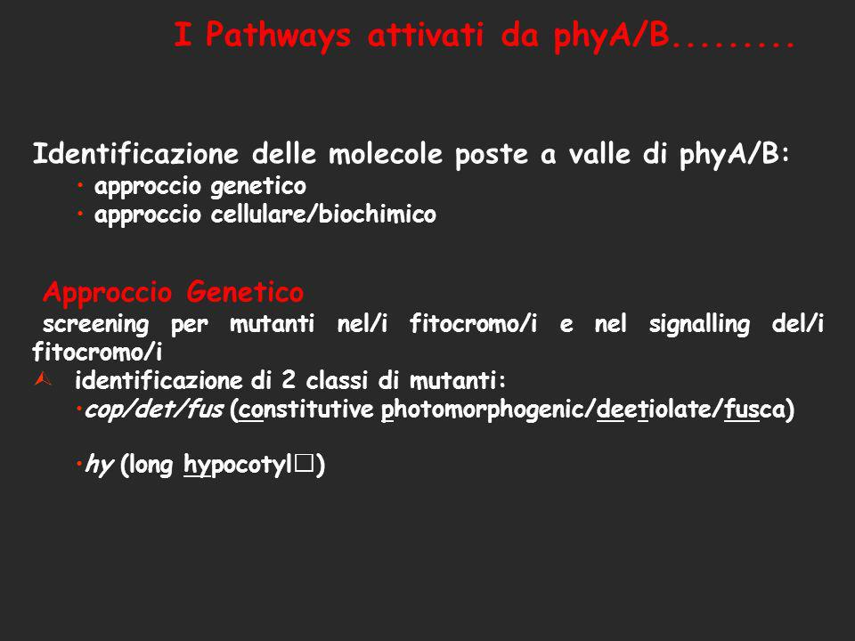 I Pathways attivati da phyA/B.........