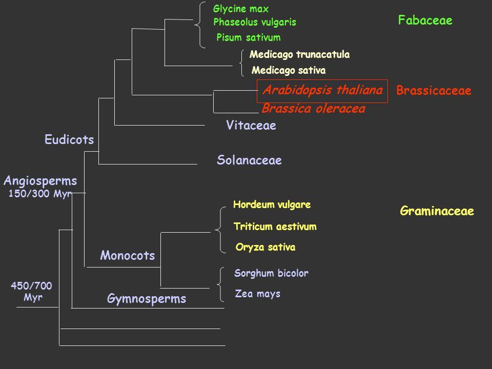 Fabaceae Arabidopsis thaliana Brassicaceae Brassica oleracea Vitaceae