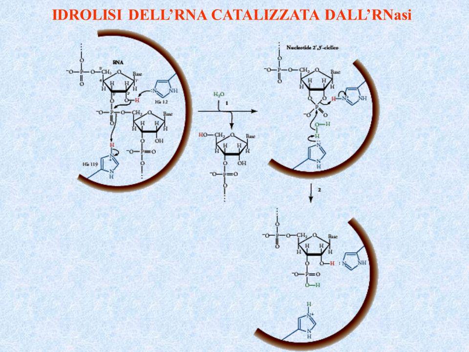 IDROLISI DELL'RNA CATALIZZATA DALL'RNasi