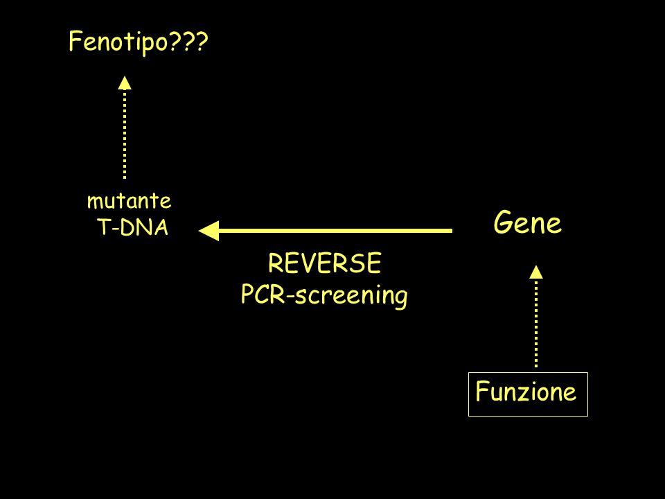 Fenotipo mutante T-DNA Gene Funzione REVERSE PCR-screening