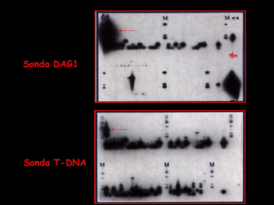 + Sonda DAG1 Sonda T-DNA