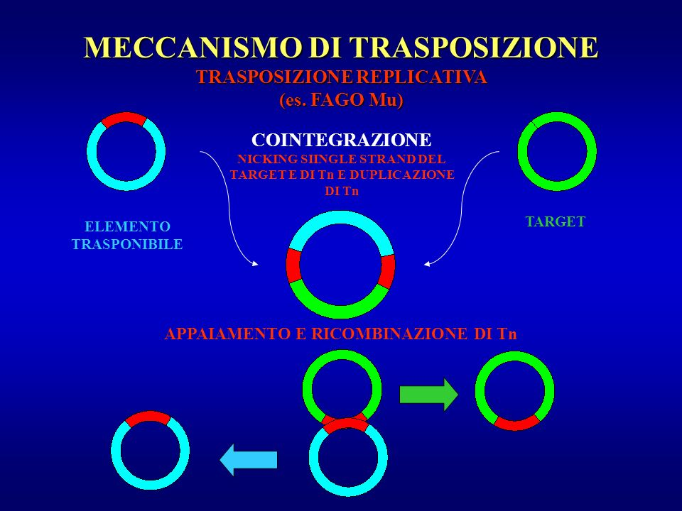 MECCANISMO DI TRASPOSIZIONE TRASPOSIZIONE REPLICATIVA (es. FAGO Mu)