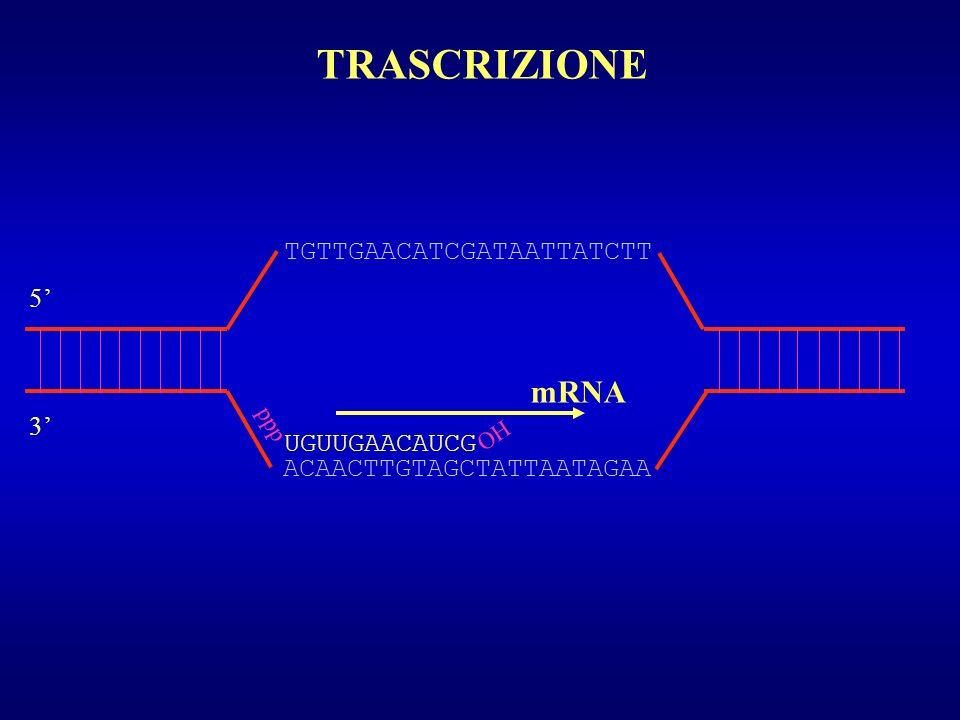 TRASCRIZIONE mRNA TGTTGAACATCGATAATTATCTT 5' 3' UGUUGAACAUCG