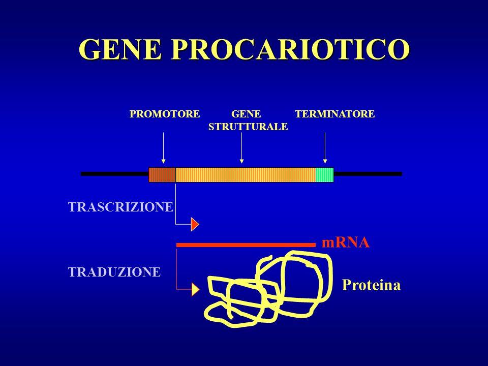 GENE PROCARIOTICO mRNA Proteina TRASCRIZIONE TRADUZIONE