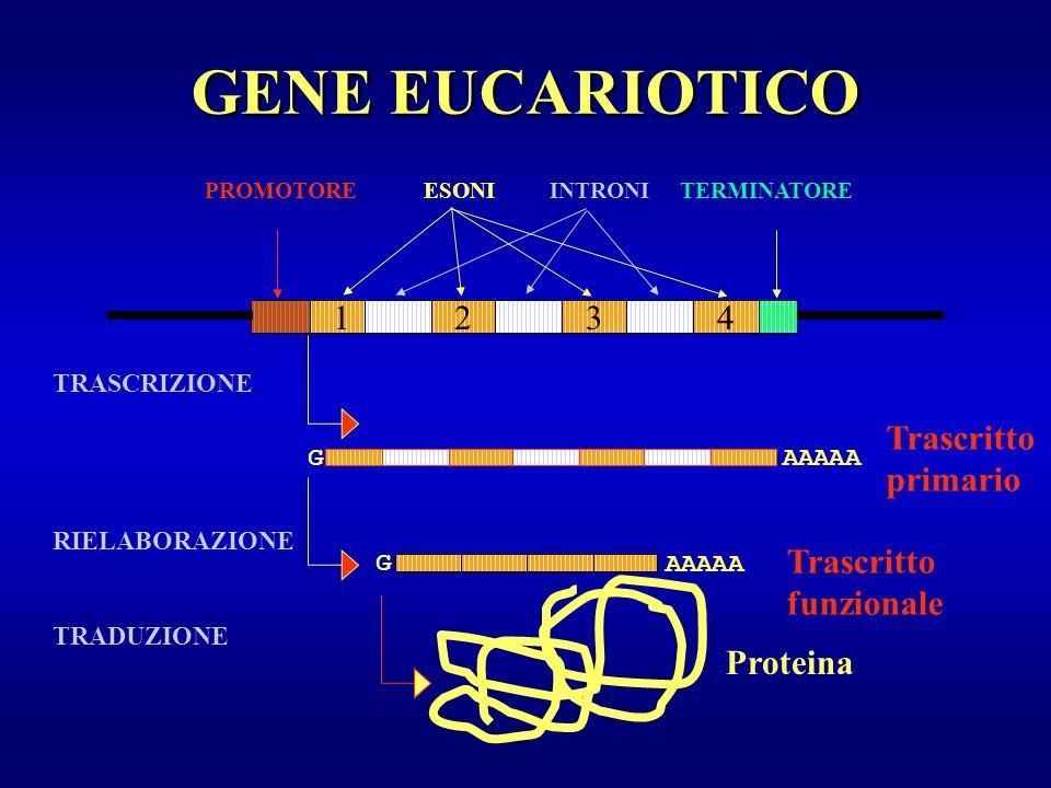 GENE EUCARIOTICO 1 2 3 4 Trascritto primario Trascritto funzionale