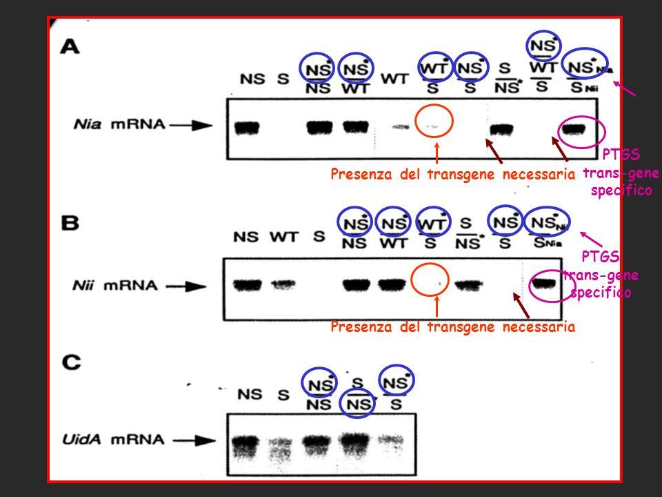 Presenza del transgene necessaria