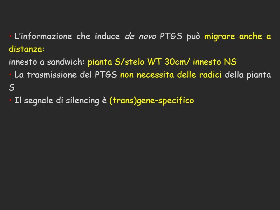 L'informazione che induce de novo PTGS può migrare anche a distanza: