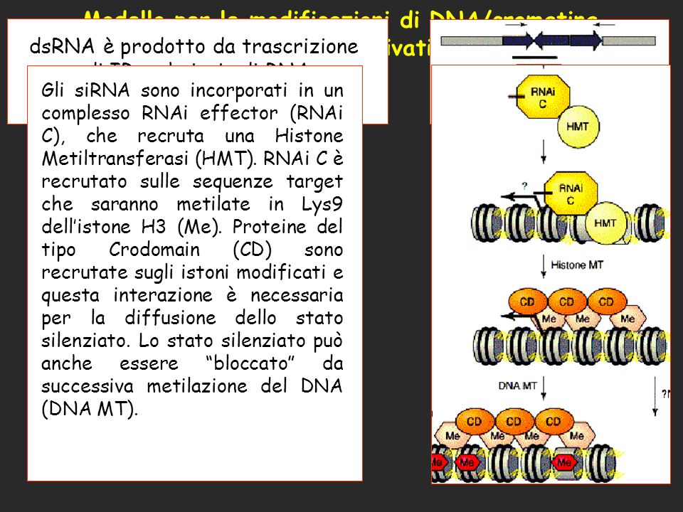 Modello per le modificazioni di DNA/cromatina