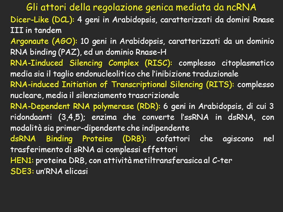 Gli attori della regolazione genica mediata da ncRNA