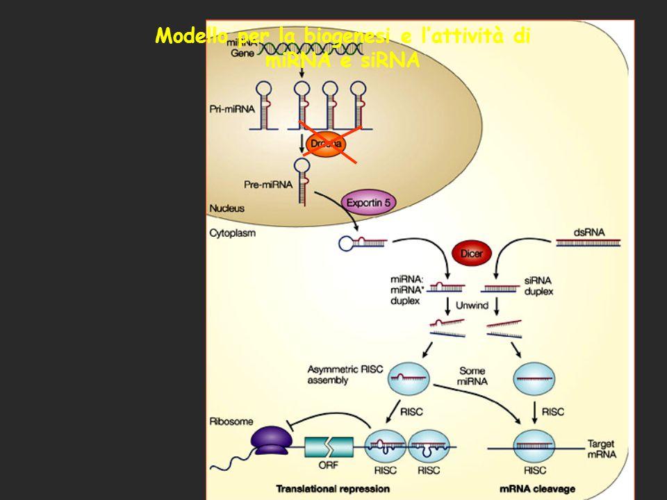 Modello per la biogenesi e l'attività di miRNA e siRNA