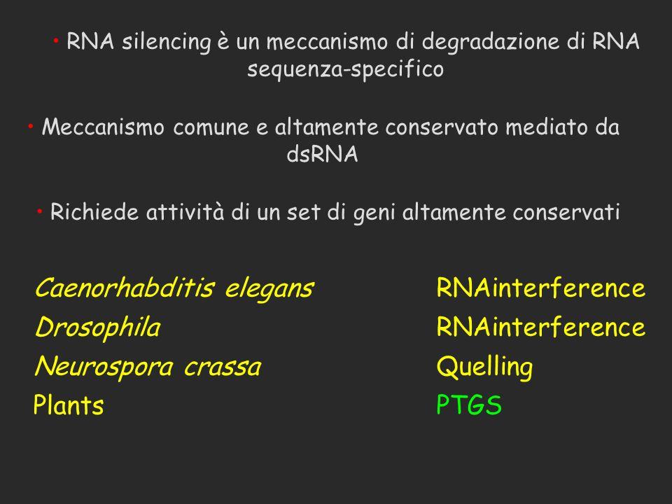 Caenorhabditis elegans RNAinterference Drosophila RNAinterference