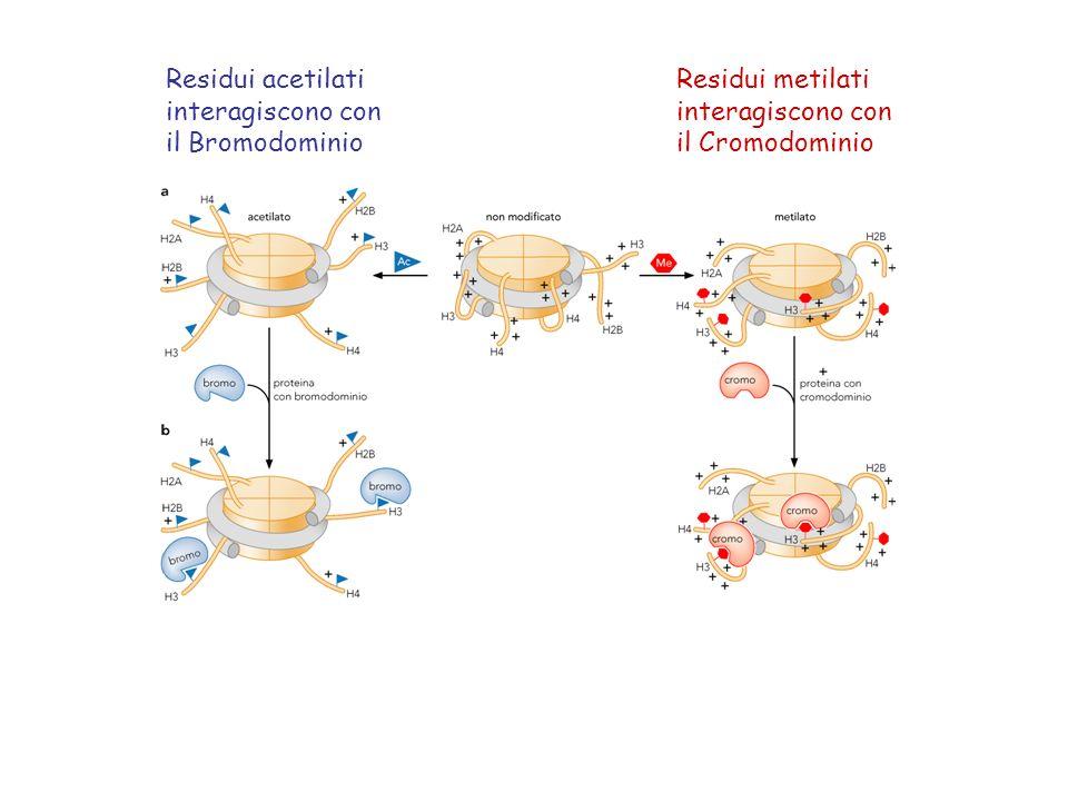 Residui acetilati interagiscono con. il Bromodominio.