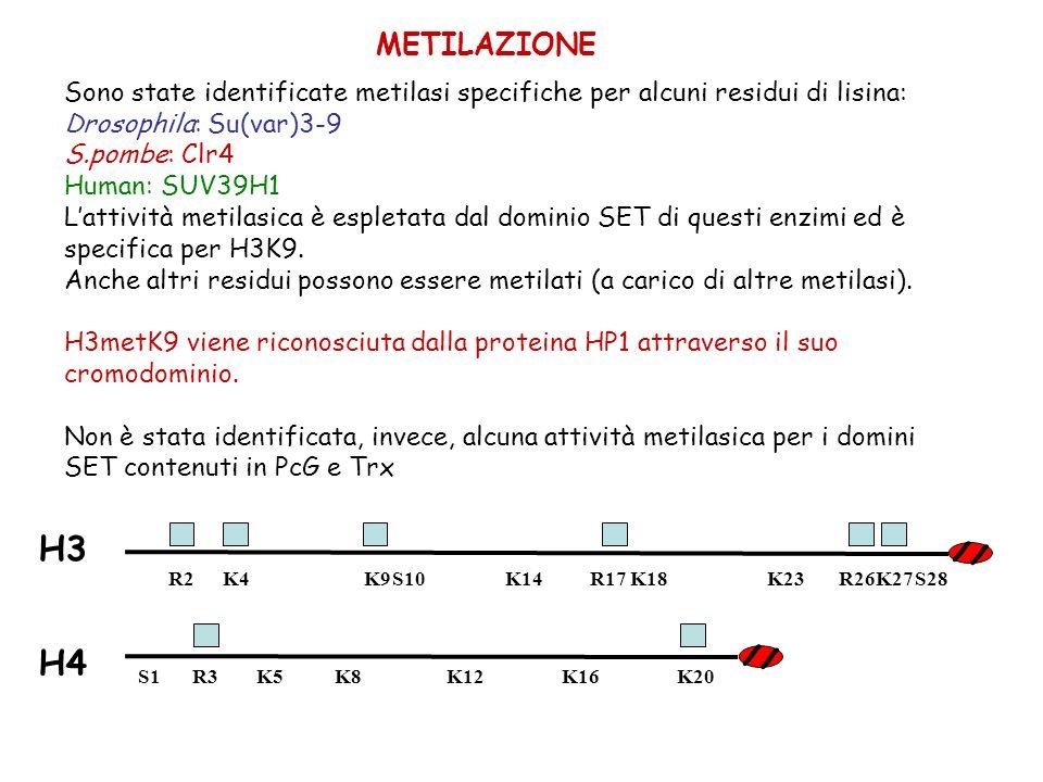 METILAZIONE Sono state identificate metilasi specifiche per alcuni residui di lisina: Drosophila: Su(var)3-9.