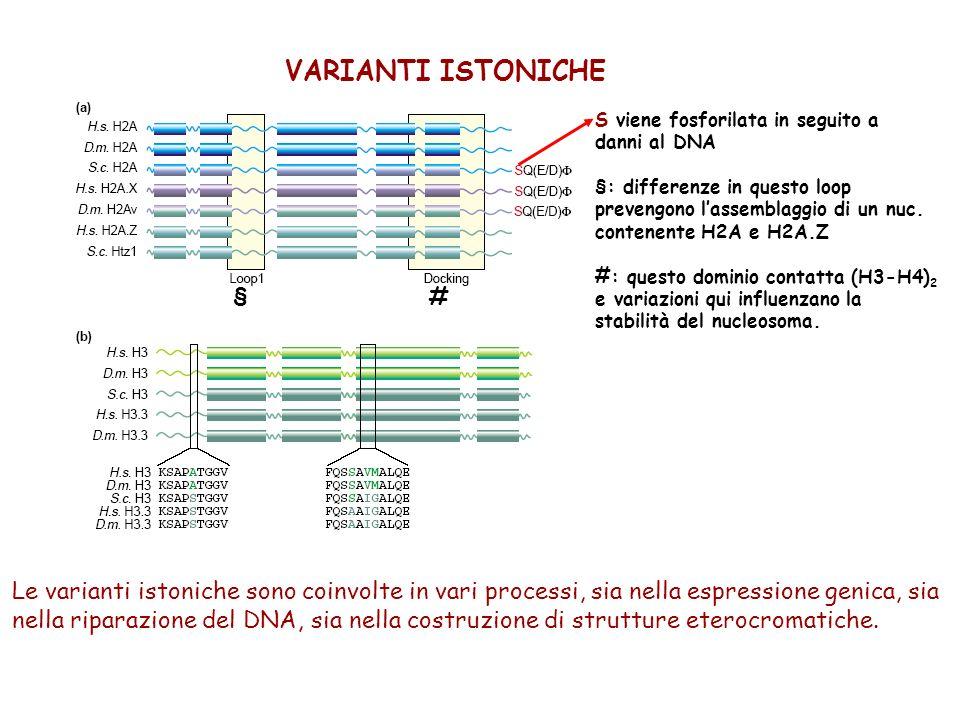 VARIANTI ISTONICHE S viene fosforilata in seguito a. danni al DNA. §: differenze in questo loop. prevengono l'assemblaggio di un nuc.