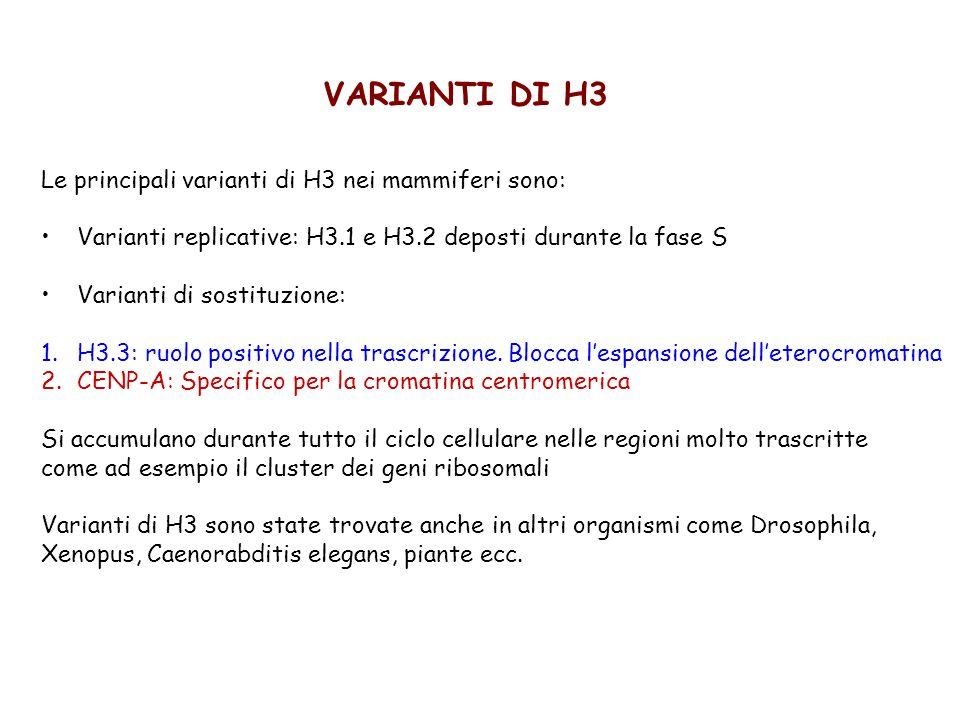 VARIANTI DI H3 Le principali varianti di H3 nei mammiferi sono: