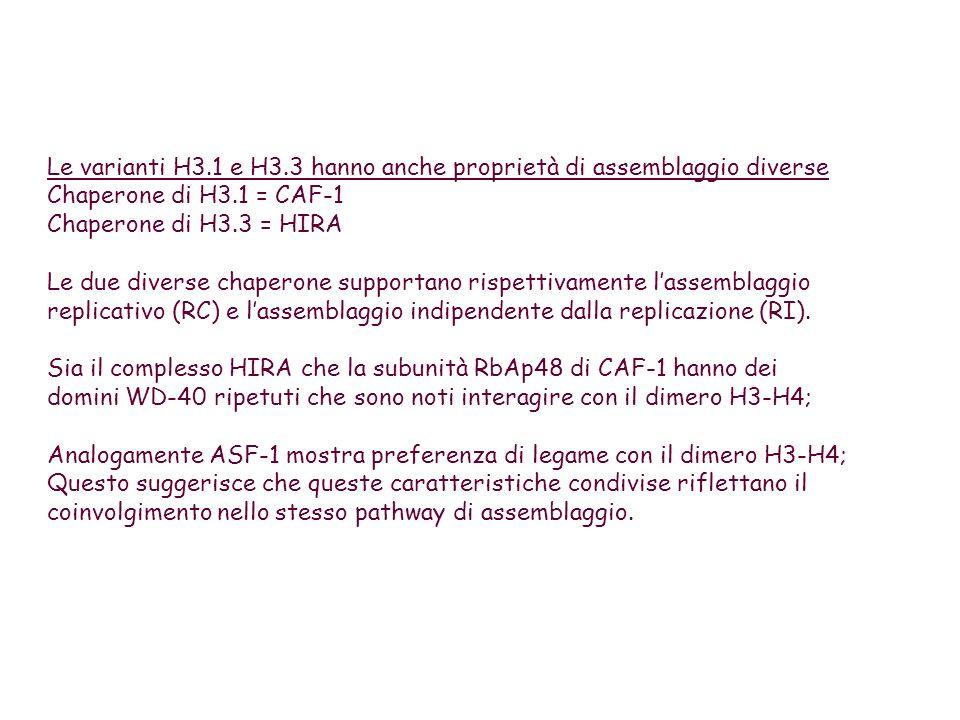 Le varianti H3.1 e H3.3 hanno anche proprietà di assemblaggio diverse