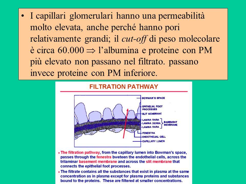 I capillari glomerulari hanno una permeabilità molto elevata, anche perché hanno pori relativamente grandi; il cut-off di peso molecolare è circa 60.000  l'albumina e proteine con PM più elevato non passano nel filtrato.