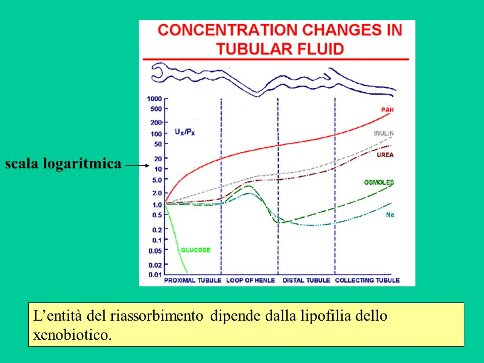 scala logaritmica L'entità del riassorbimento dipende dalla lipofilia dello xenobiotico.