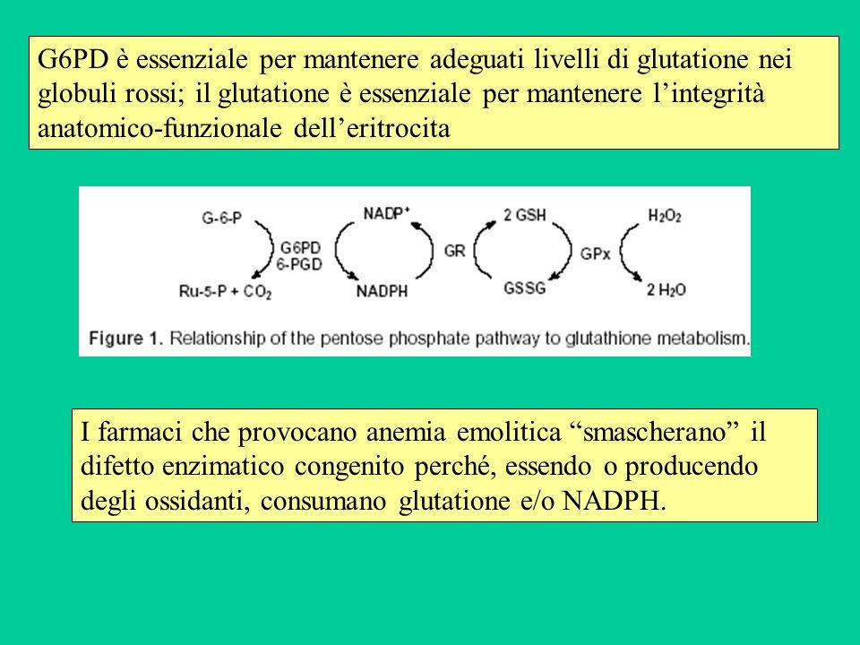 G6PD è essenziale per mantenere adeguati livelli di glutatione nei globuli rossi; il glutatione è essenziale per mantenere l'integrità anatomico-funzionale dell'eritrocita