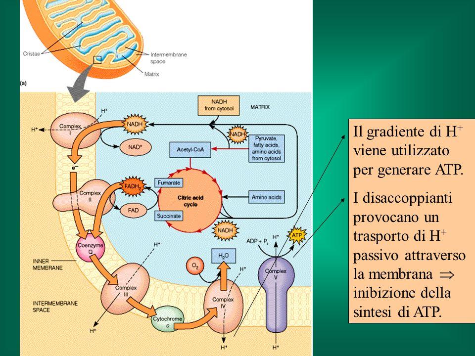 Il gradiente di H+ viene utilizzato per generare ATP.