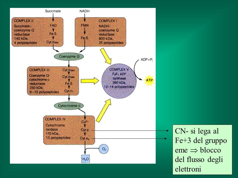CN- si lega al Fe+3 del gruppo eme  blocco del flusso degli elettroni