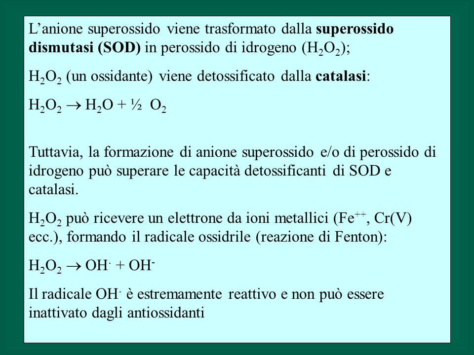 L'anione superossido viene trasformato dalla superossido dismutasi (SOD) in perossido di idrogeno (H2O2);